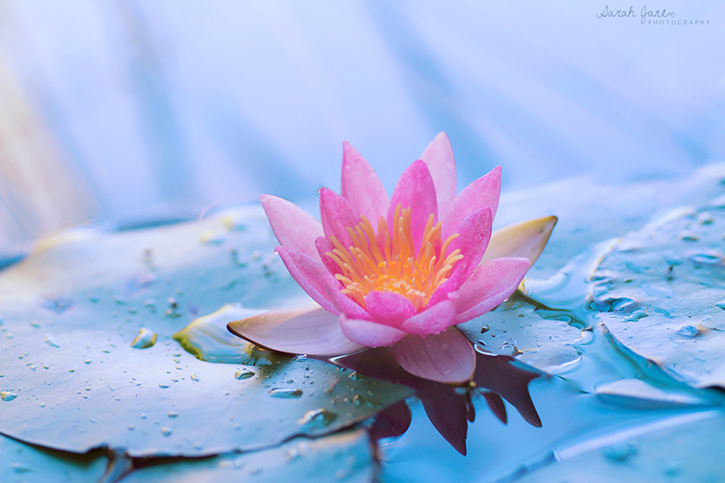 The Lotus Rises.. Beautiful... From the Muddiest Water.